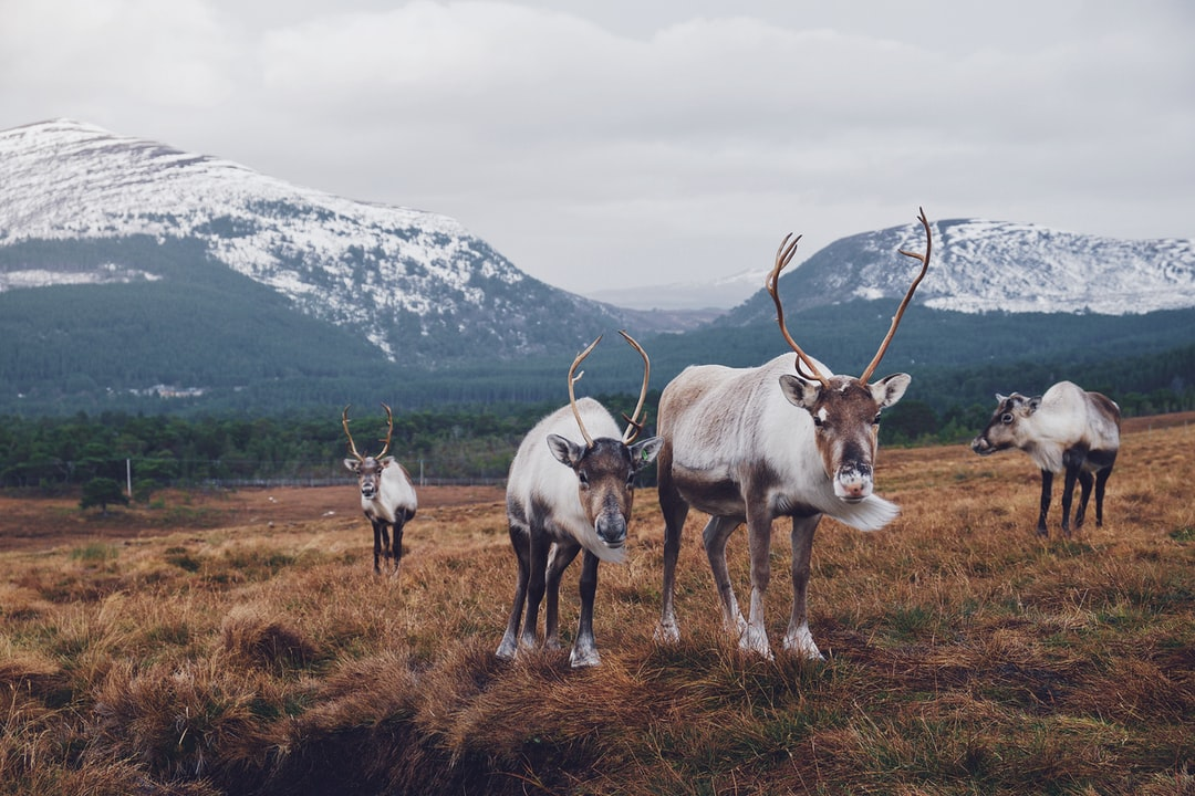 Take a trip to the Cairngorm Reindeer Centre in Aviemore, Scotland, and see Britain's only free-ranging reindeer herd.