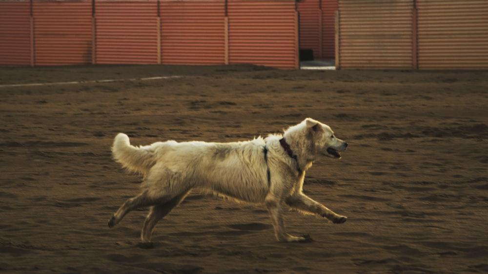 beige dog running on brown sand