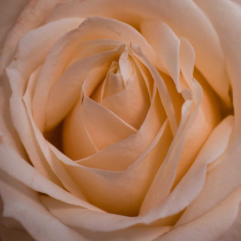 close-up photography of beige Rose flower