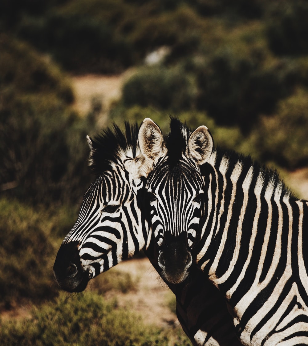 two zebra on forest