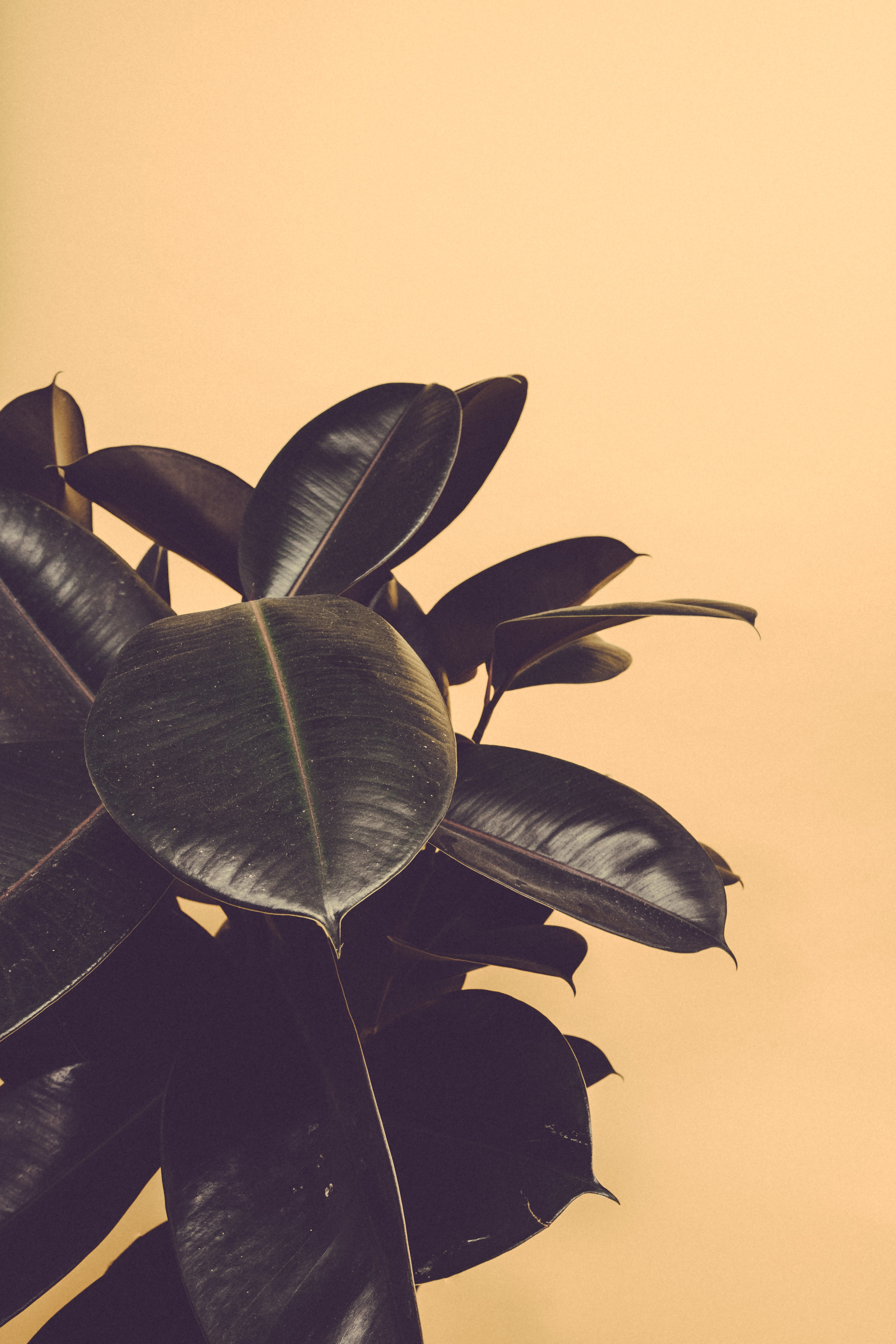 closeup photography of rubber plant