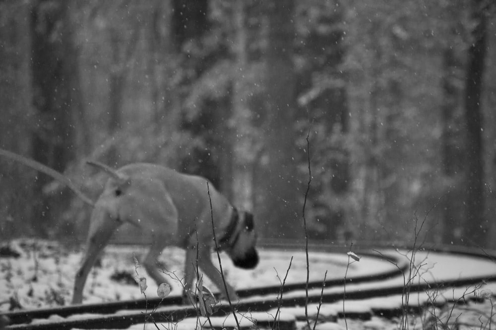 grayscale photography of dog walking on train rails