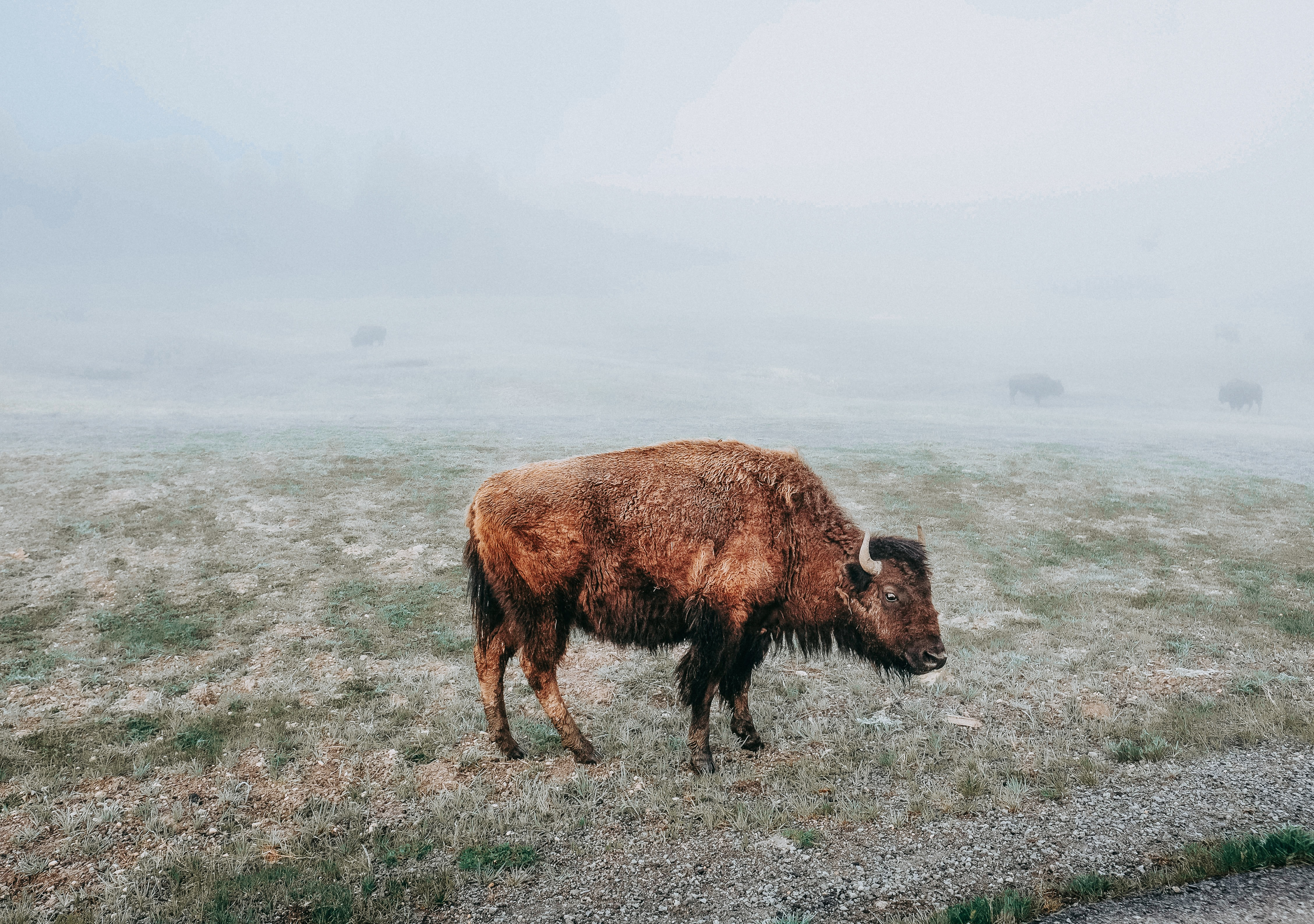 bison at the field