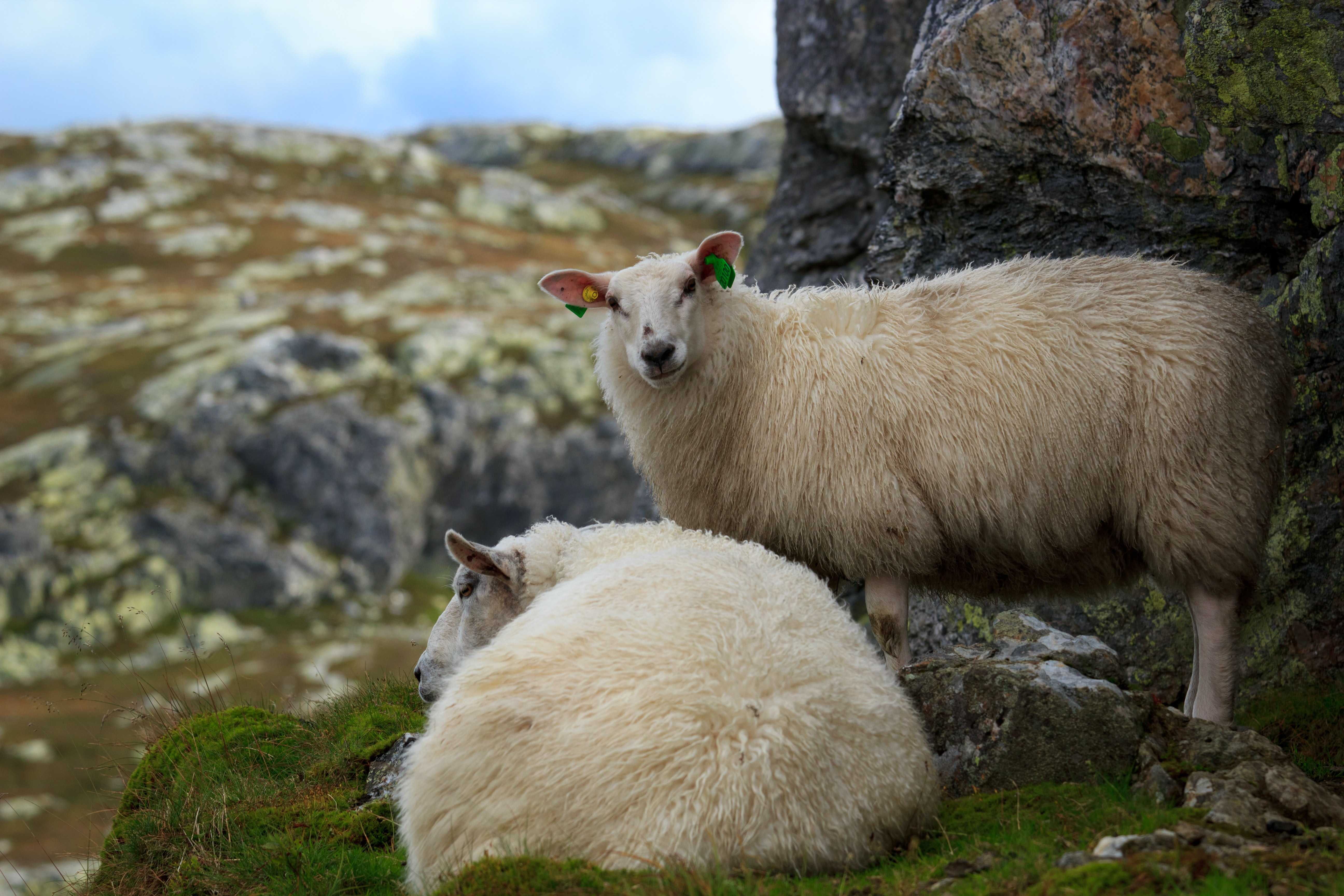 focus photo of two beige sheeps on gray rock