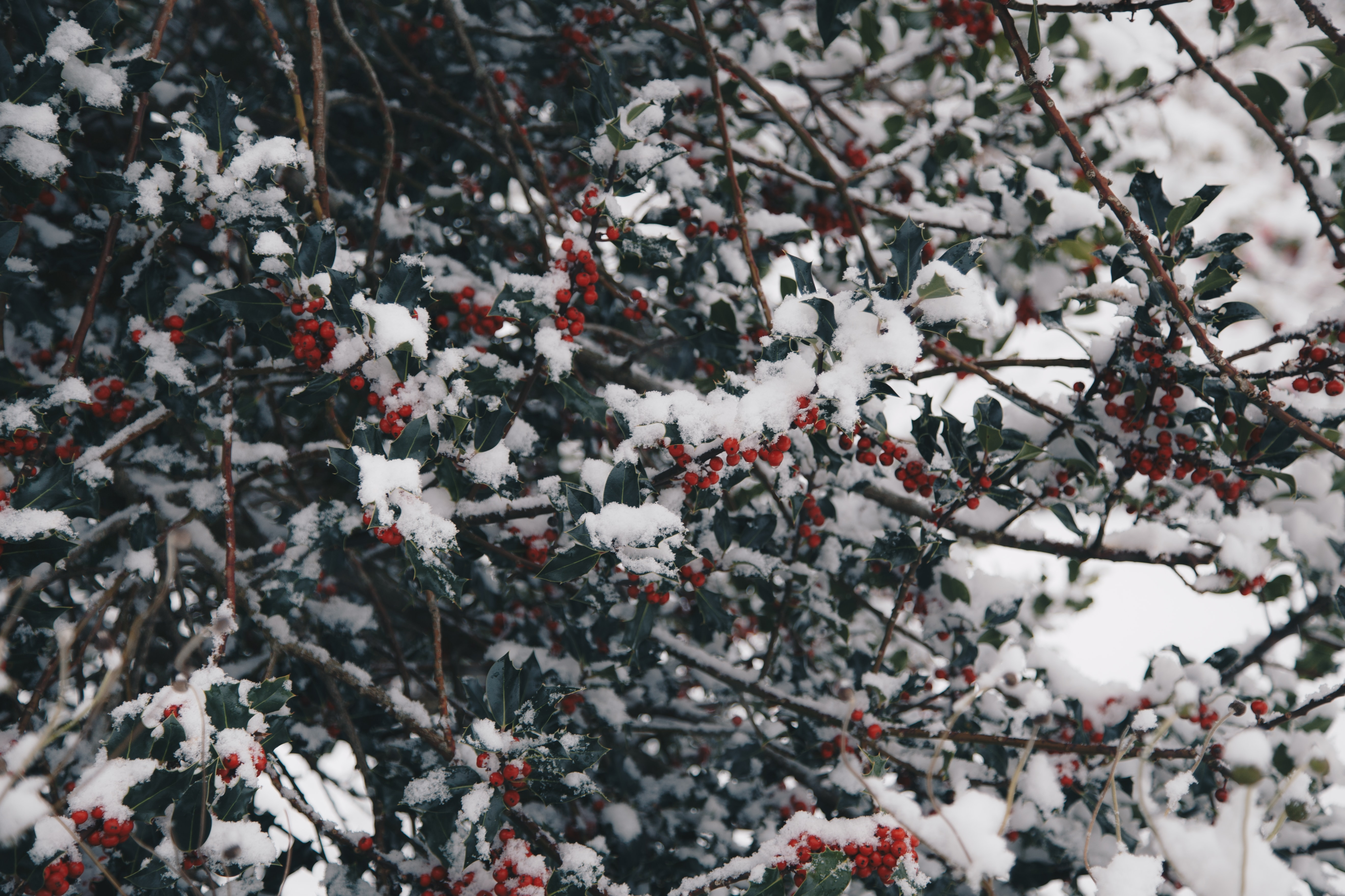 shallow focus of red fruits covered with snow