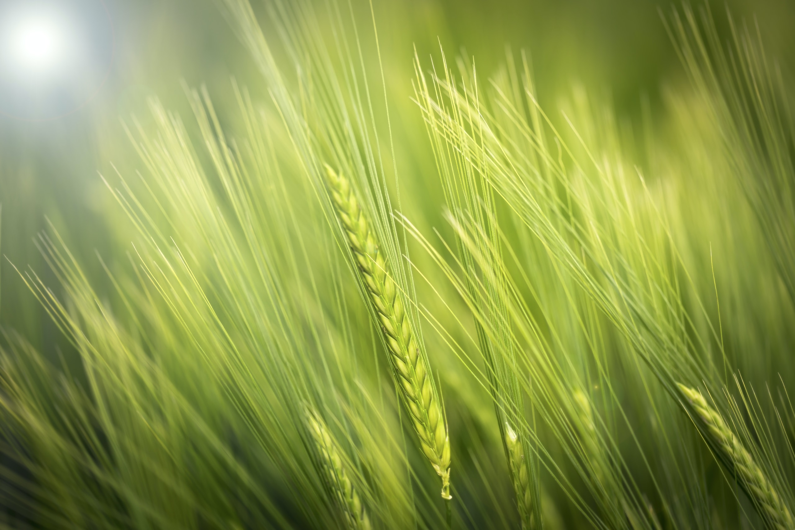 Parable of the wheat and weeds