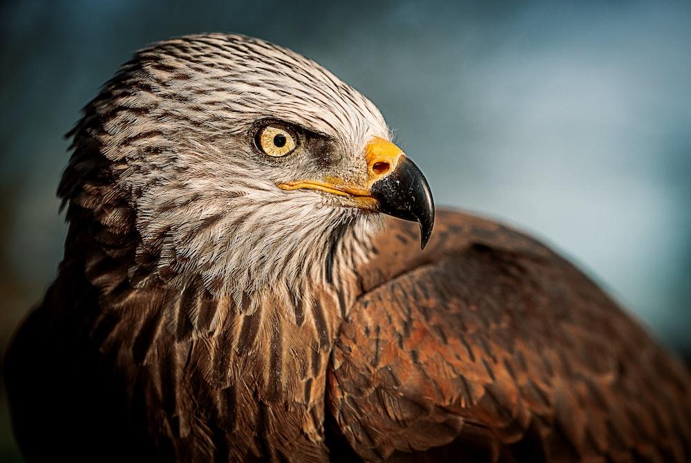 closeup photography of bald eagle