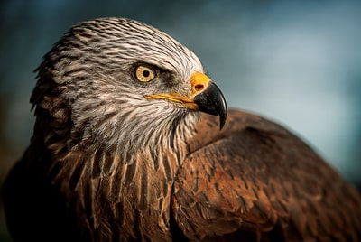 closeup photography of bald eagle wildlife zoom background
