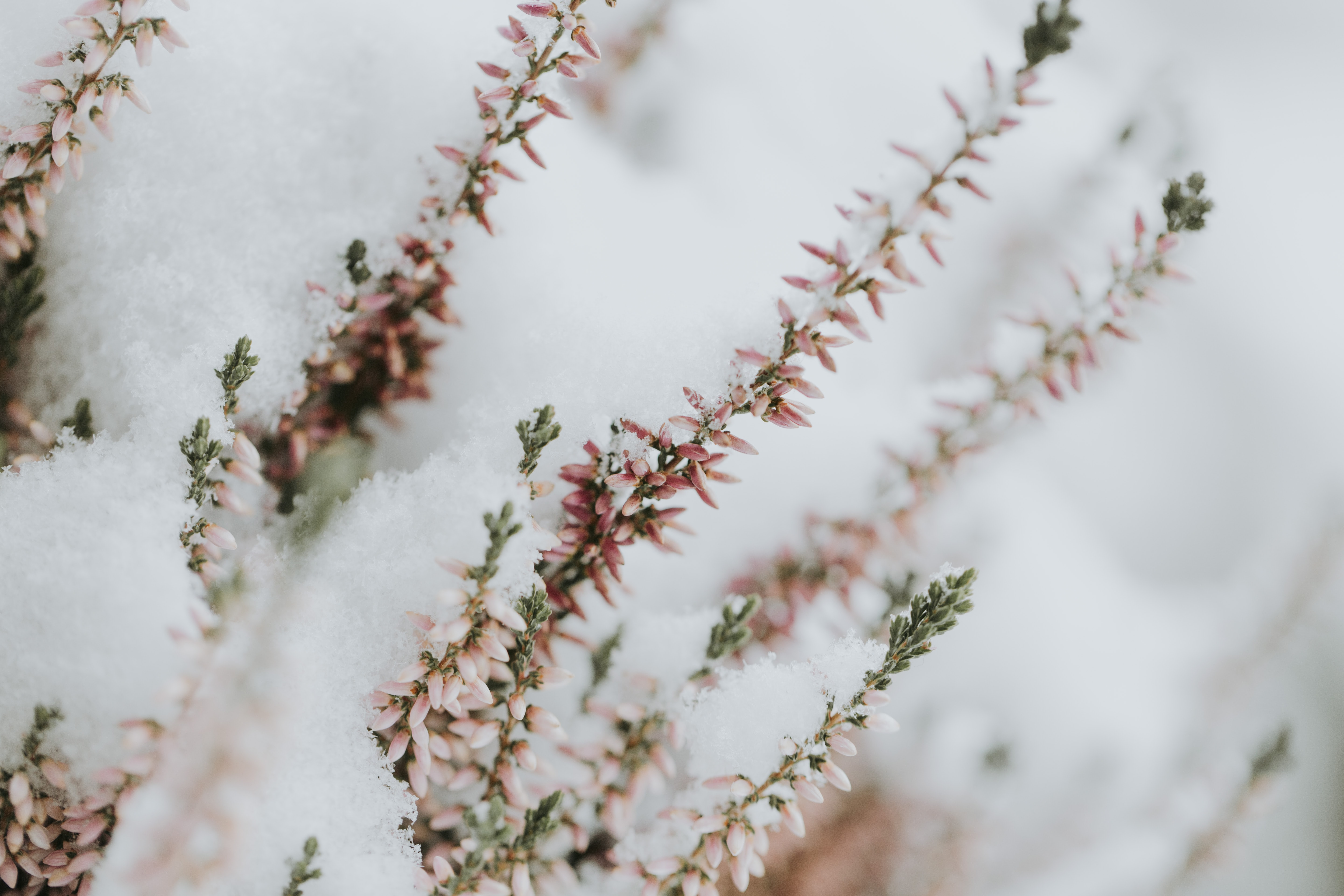 selective focus photography of pink and green leaf plants covered on snow