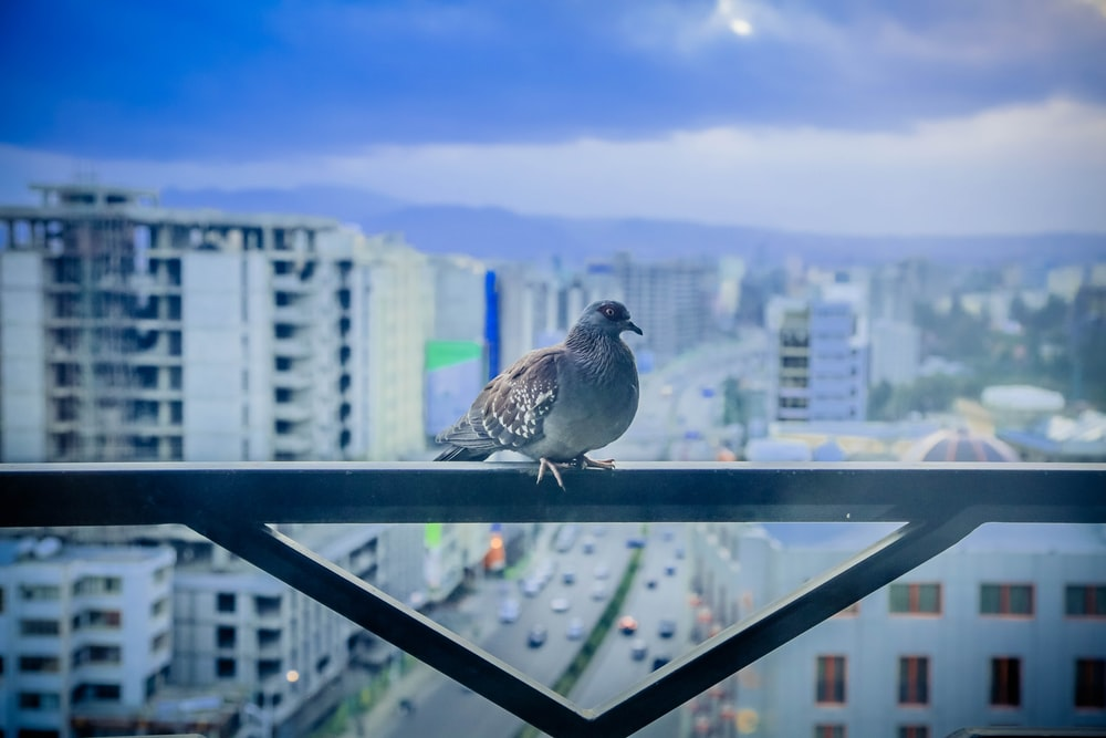 focus photo of gray and brown bird on black metal frame