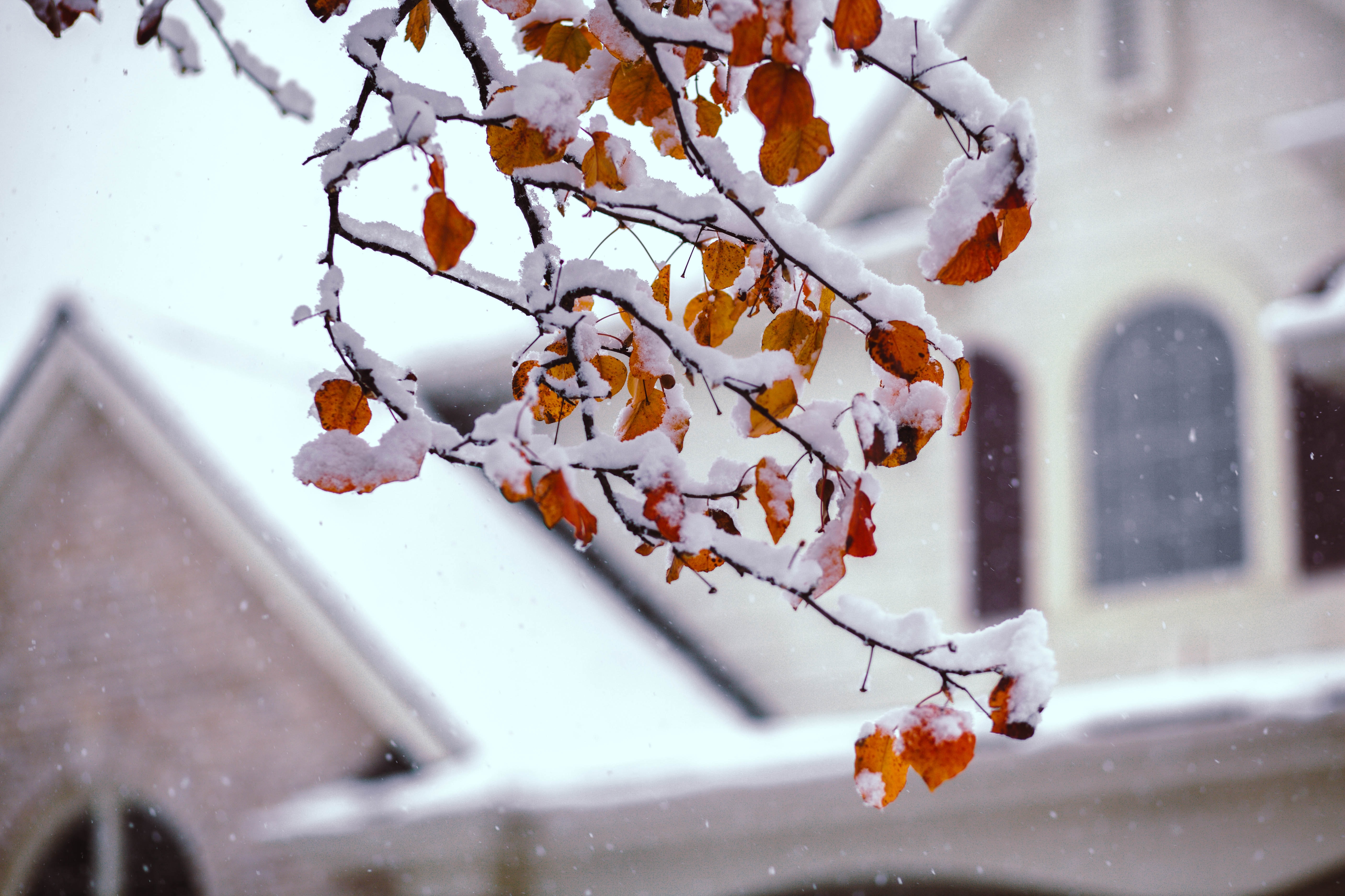 shallow focus photography of tree branch bearing fruits covered in snow