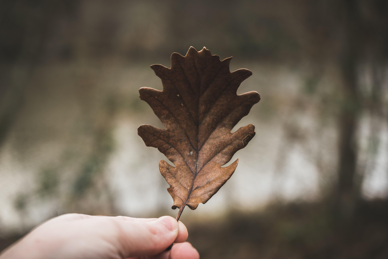 person holding brown leaf taken at daytime