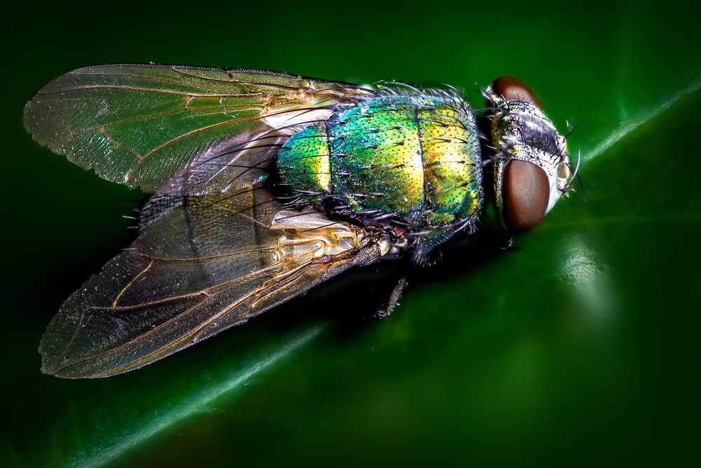 closeup photography of blue and green fly