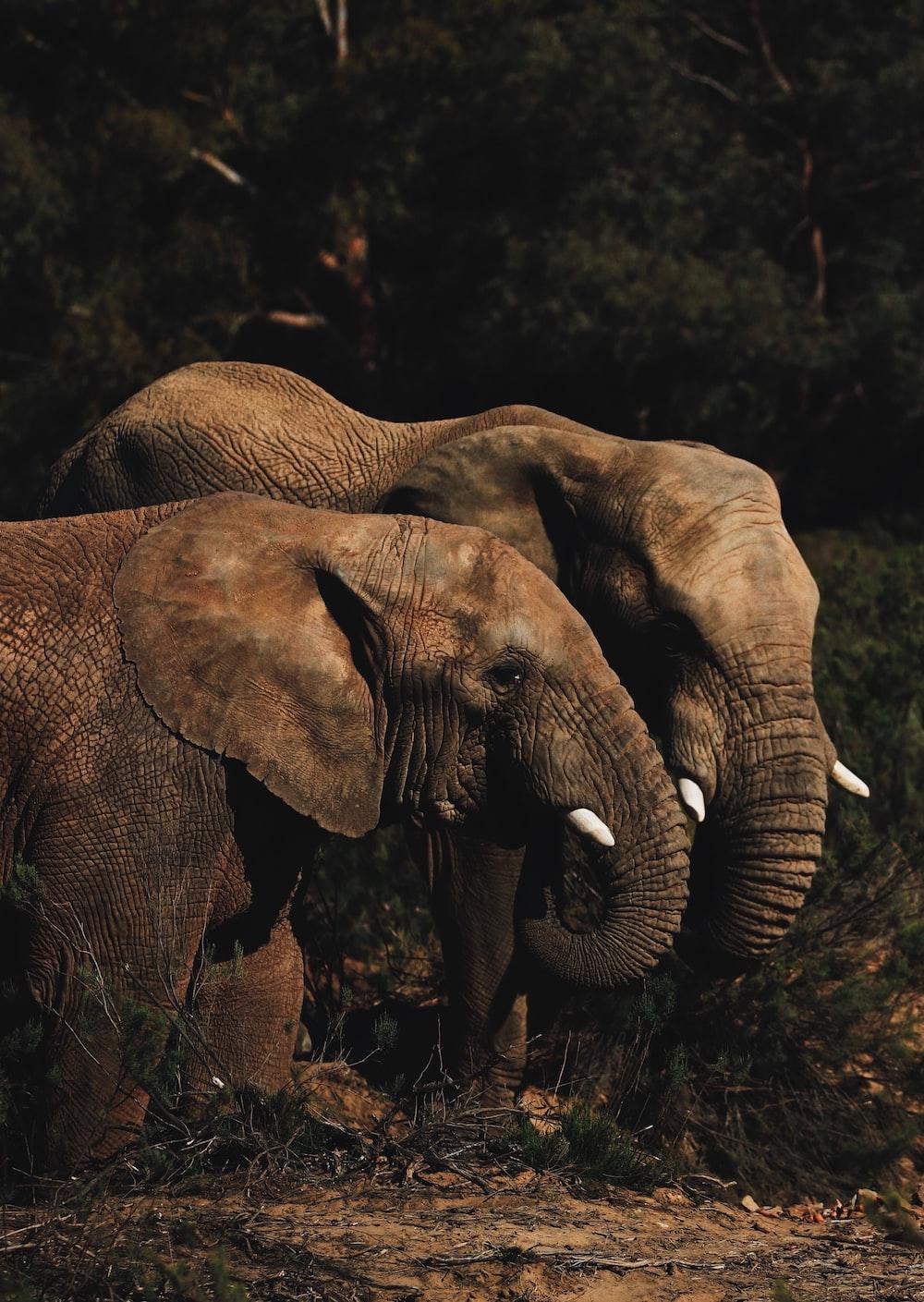 two brown elephants