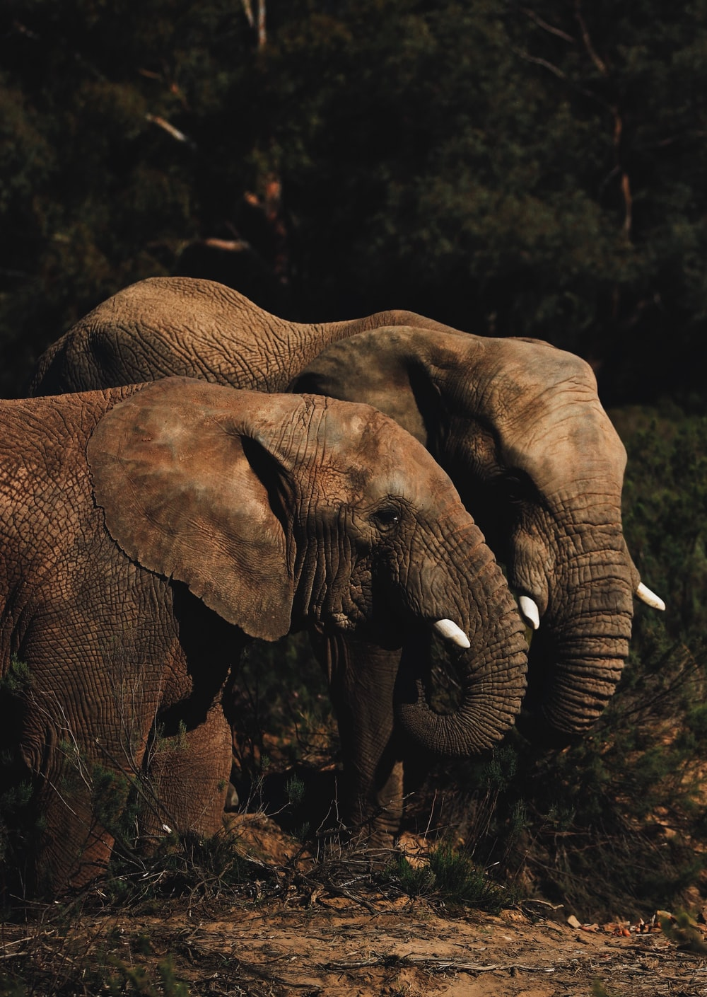 two brown elephants