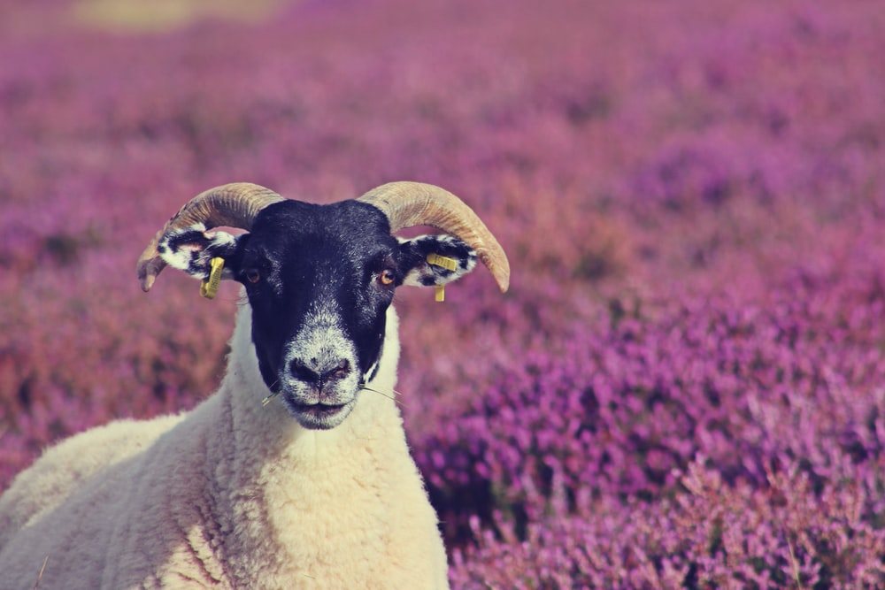white and black goat on purple flower field