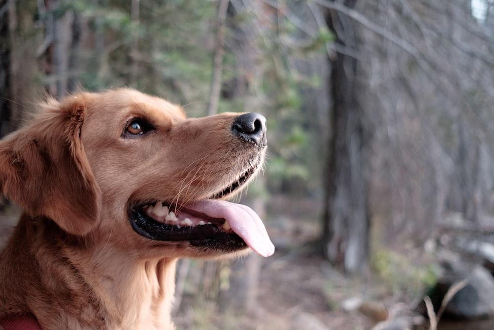 closeup photography of yellow Labrador retriever surrounded trees