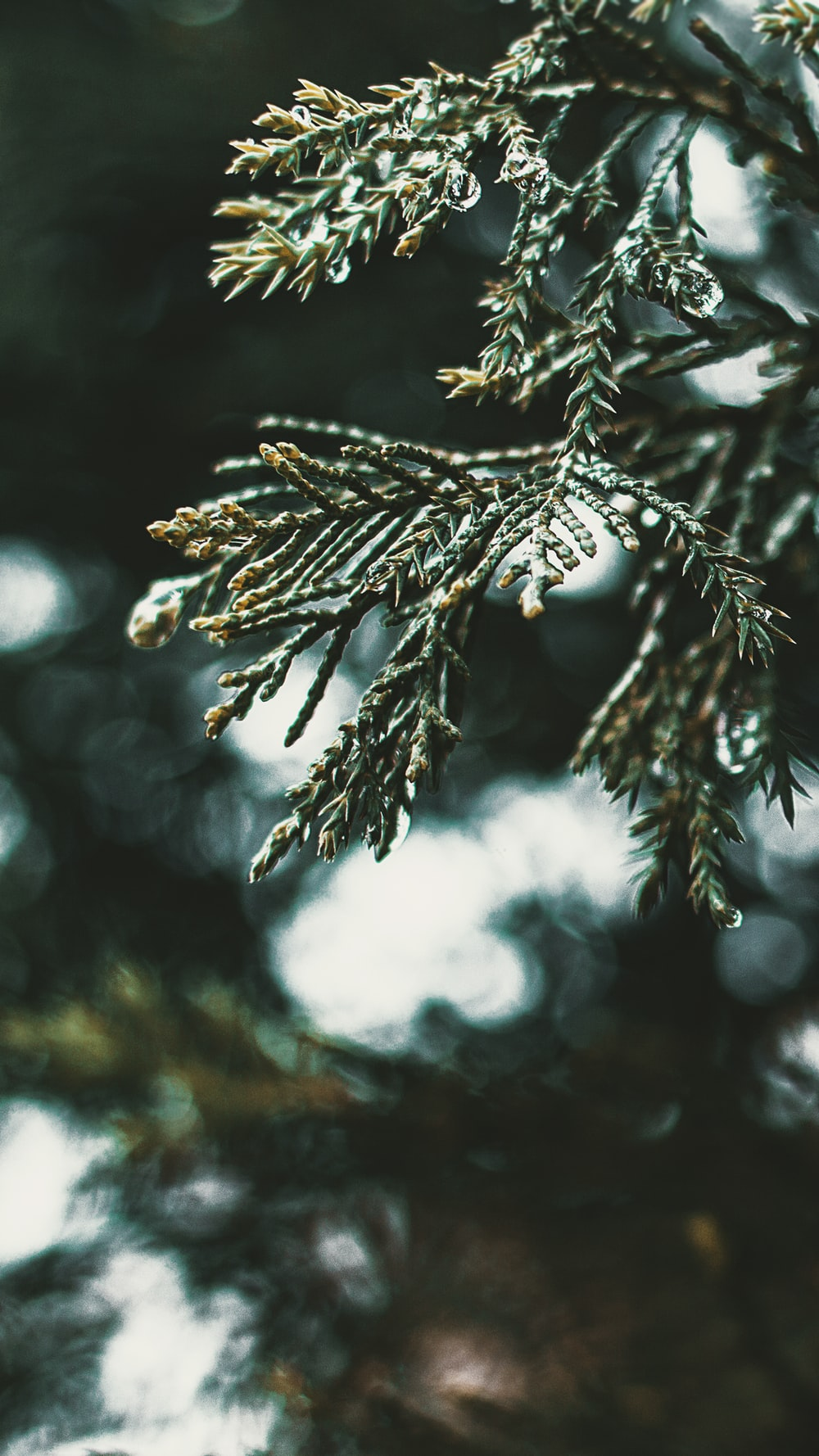 pine tree leaf close-up photography during daytime