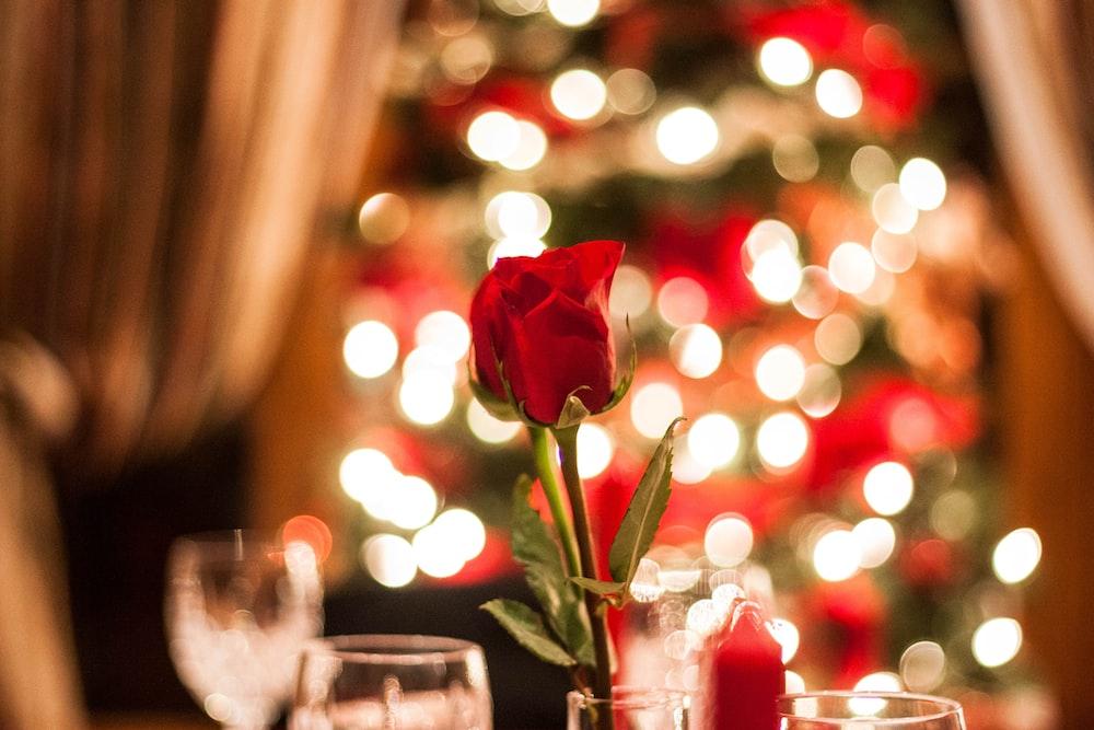 red rose in bokeh effect