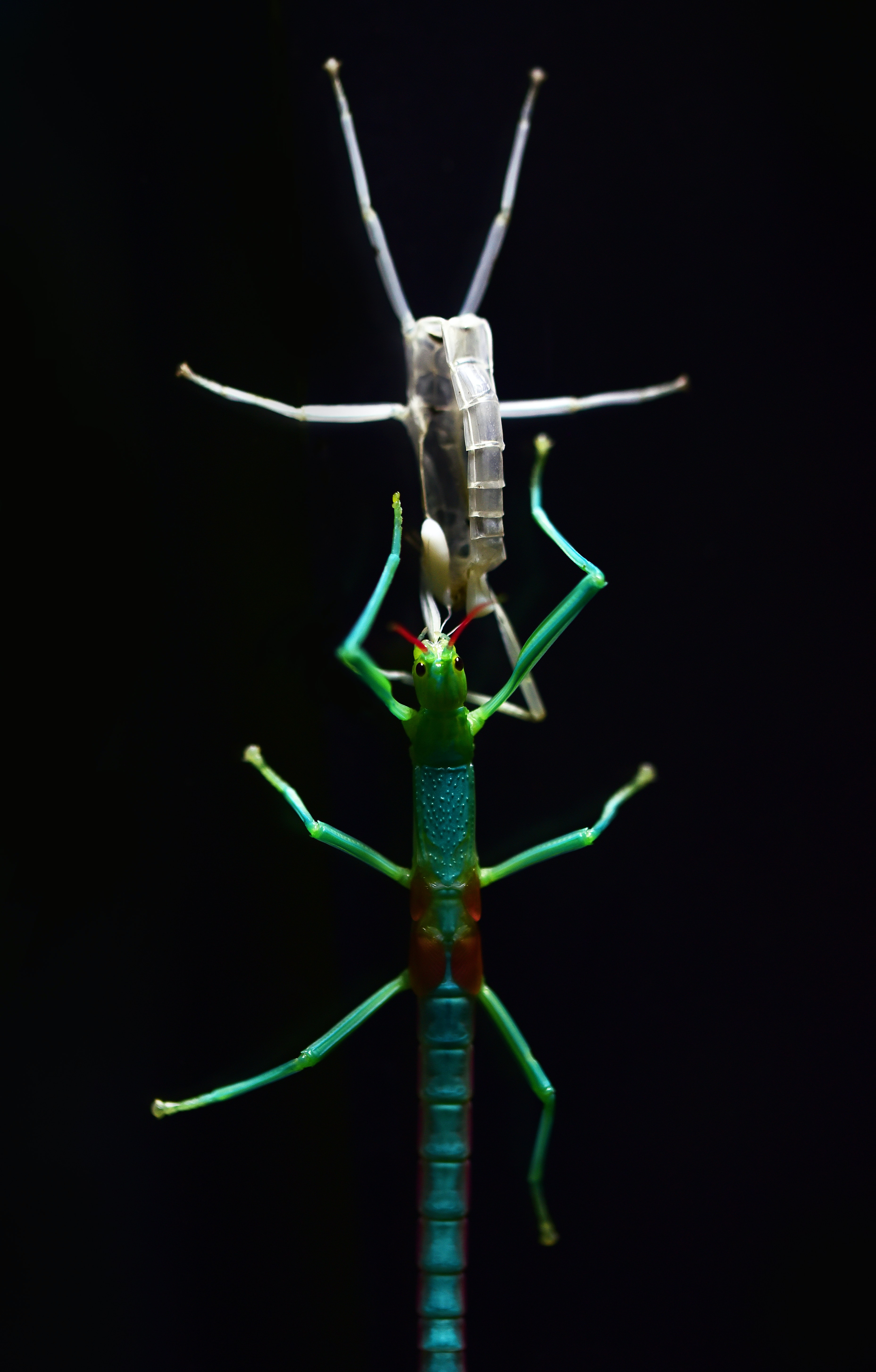 green and blue stick insect