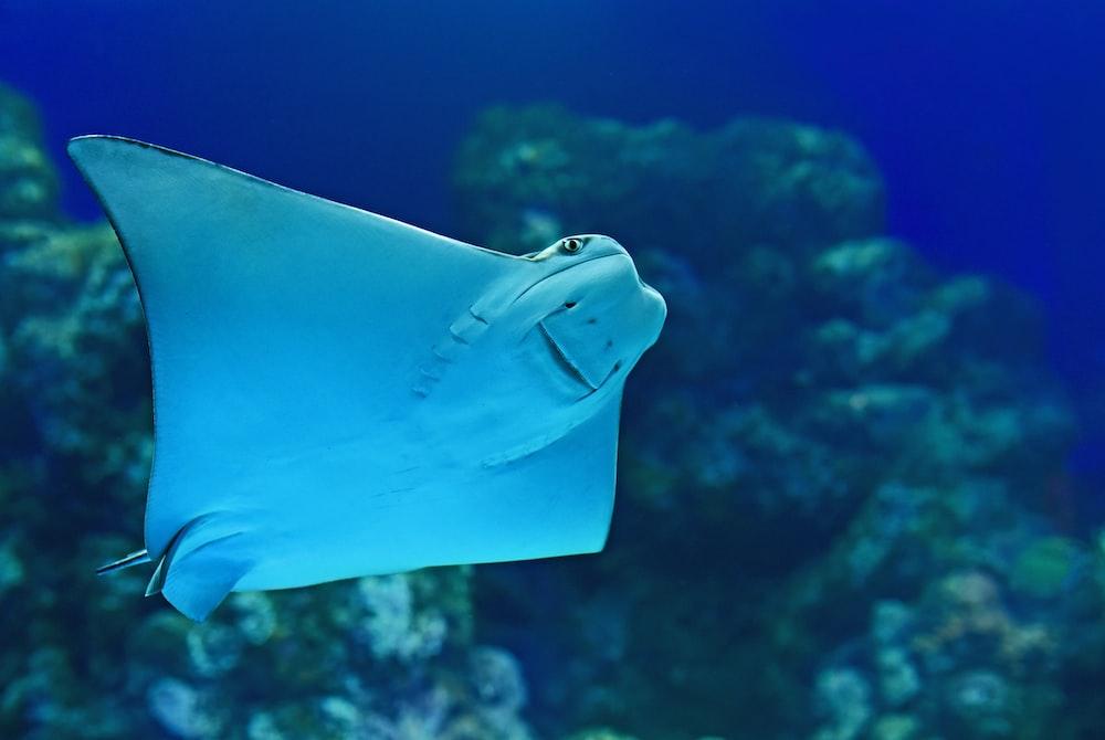 stingray near coral reef
