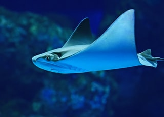 photography of sting ray