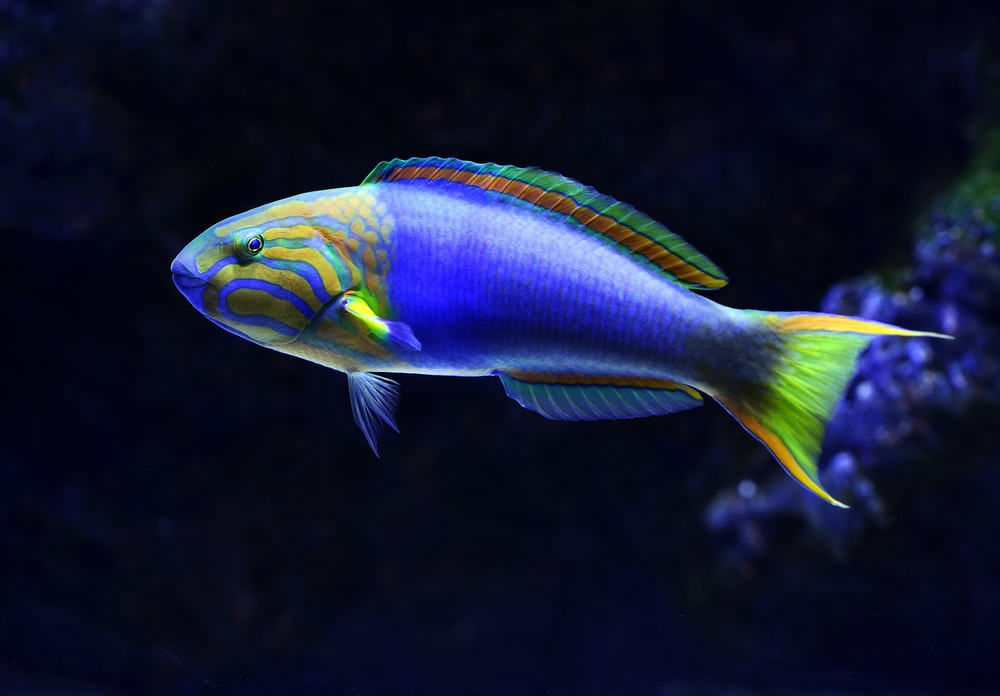 close-up photo of blue and green fish