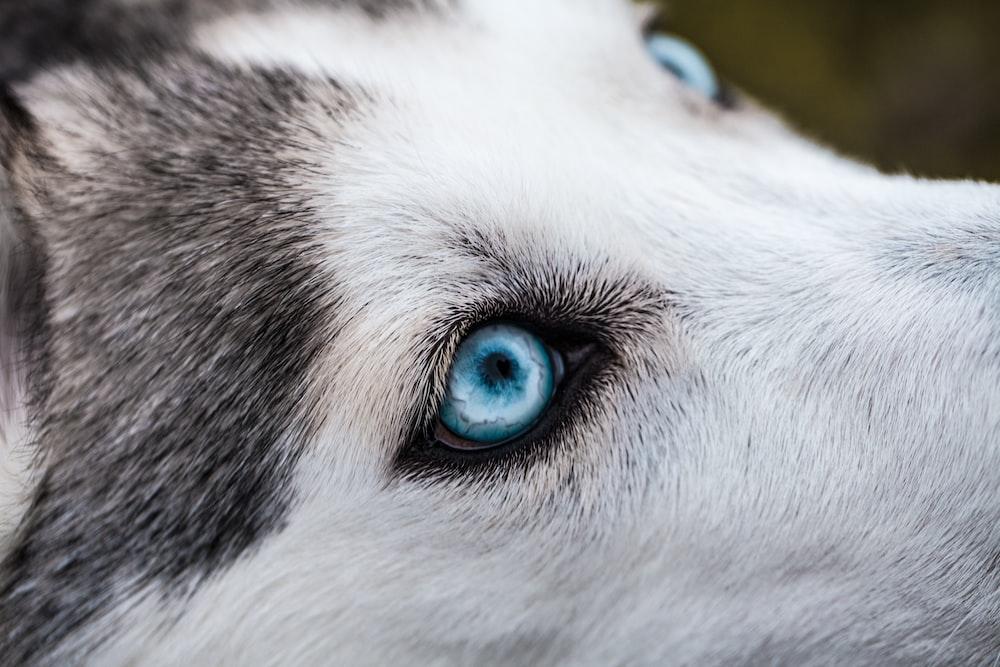 close-up photography of Siberian husky