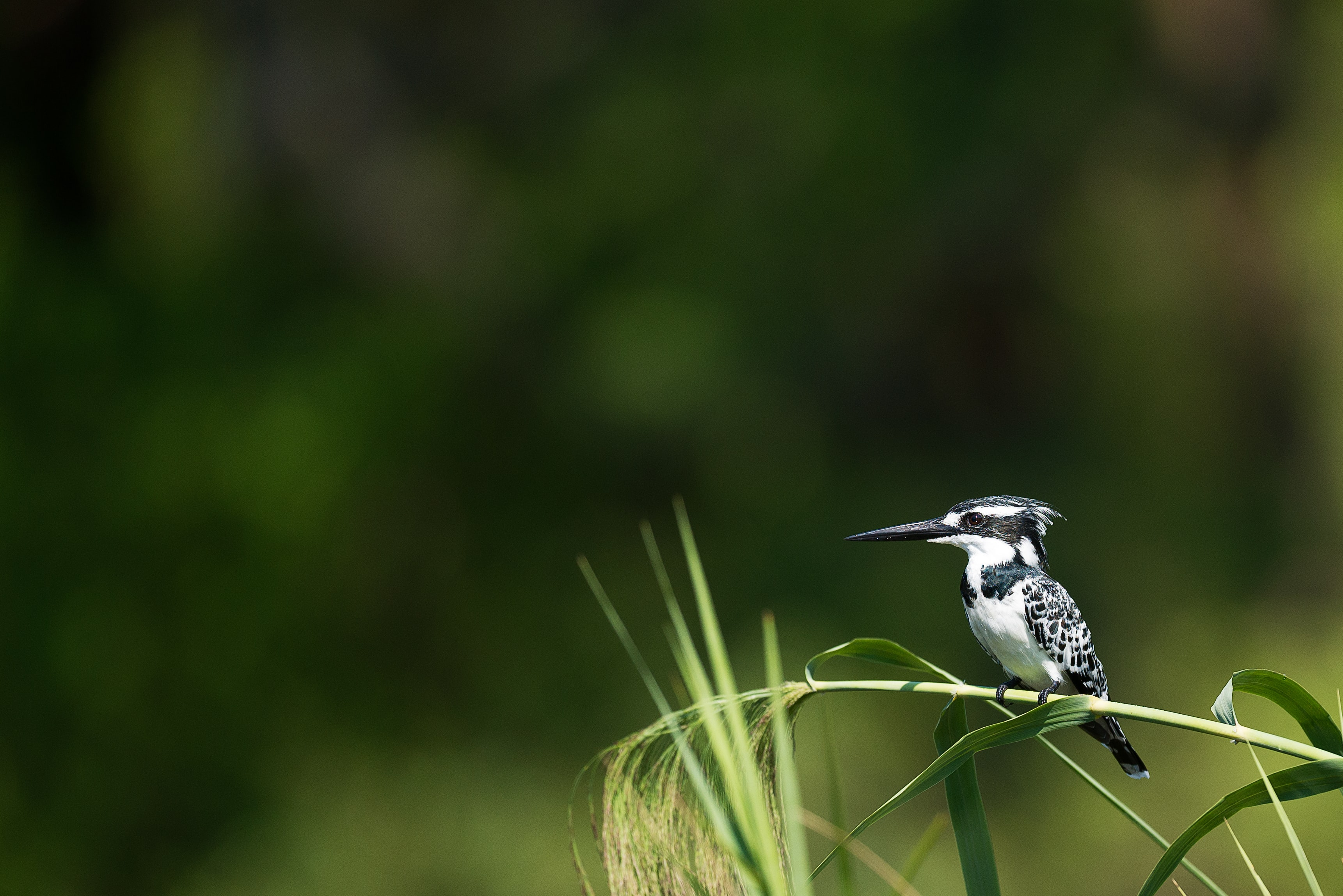 shallow focus photography of black and white woodpecker perched on grass stem