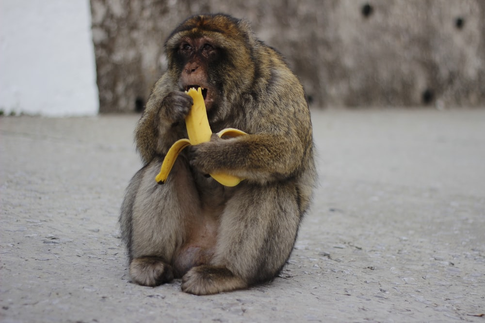 monkey eating banana sitting on floor