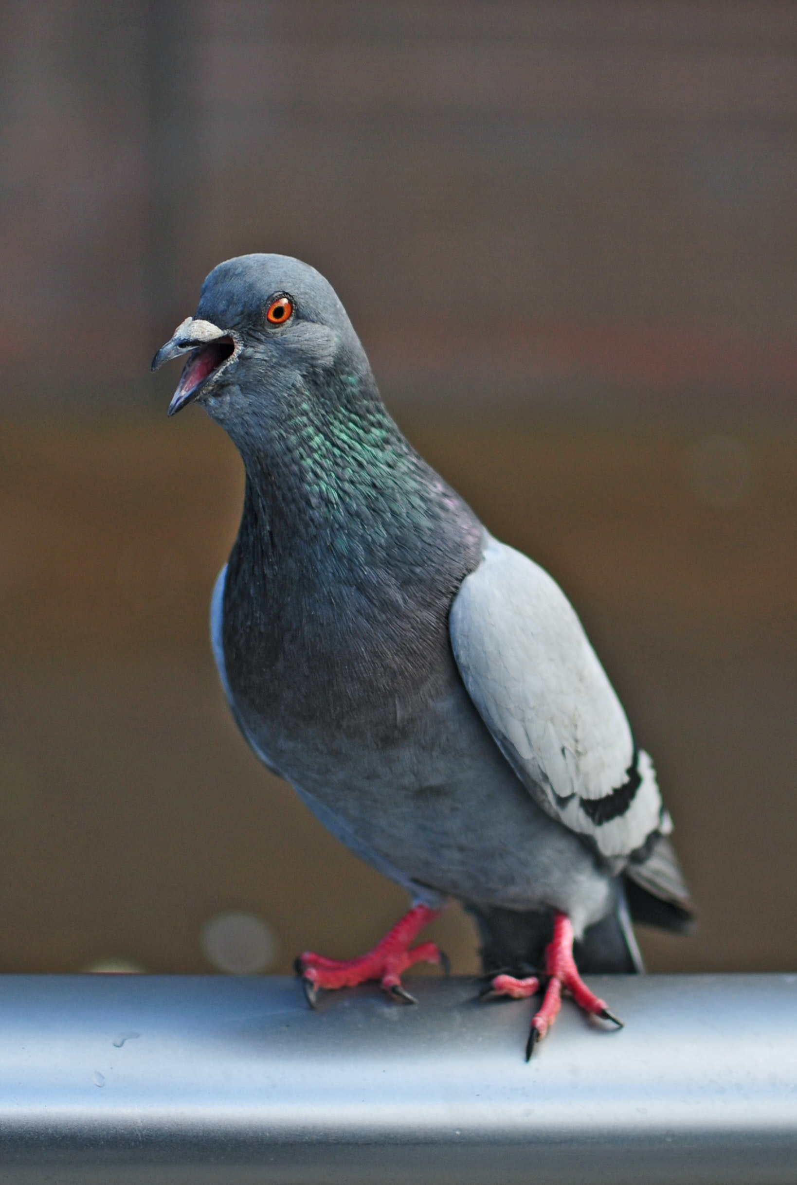 grey pigeon on grey metal rod