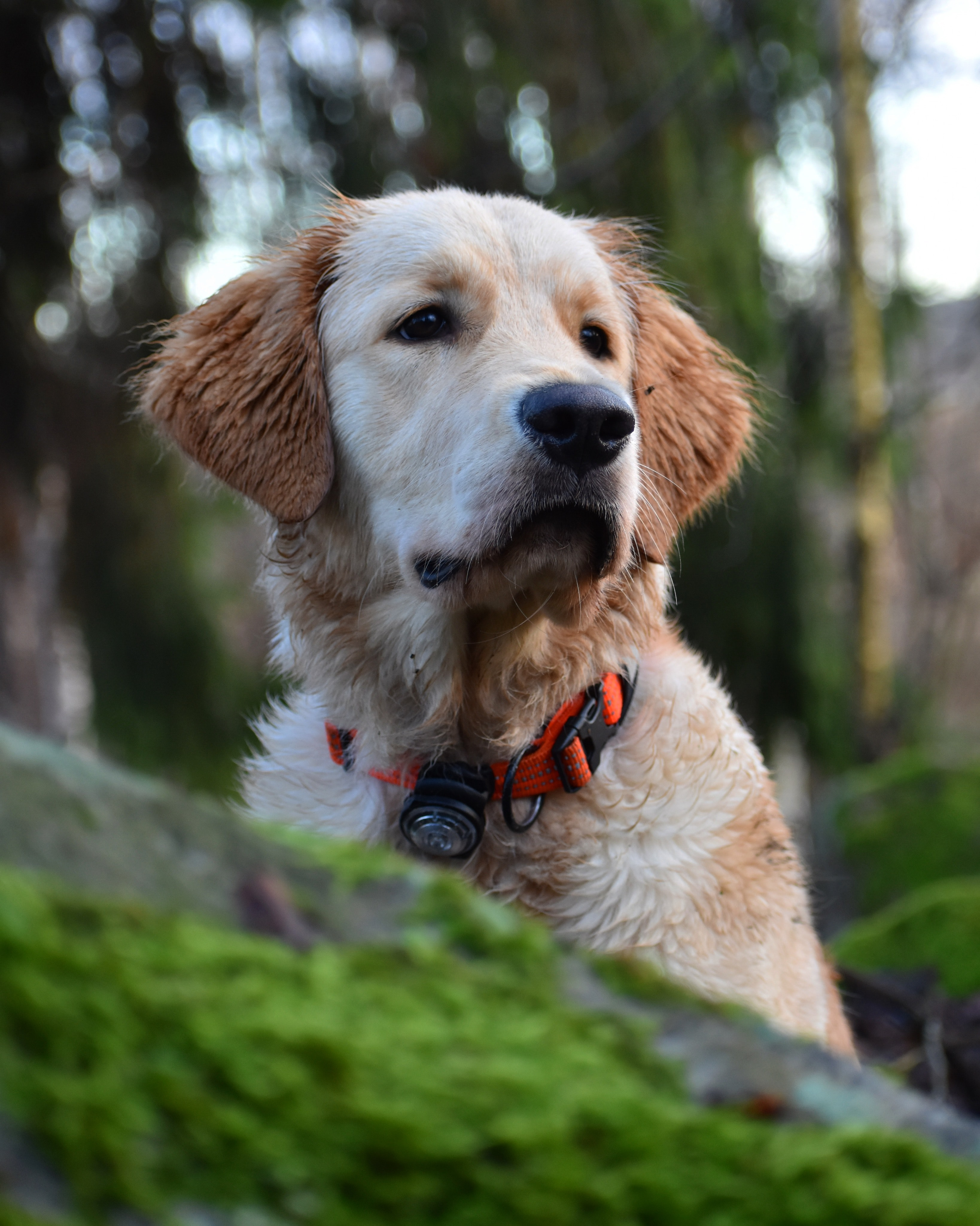 short-coat tan and white Labrador retriever on forest