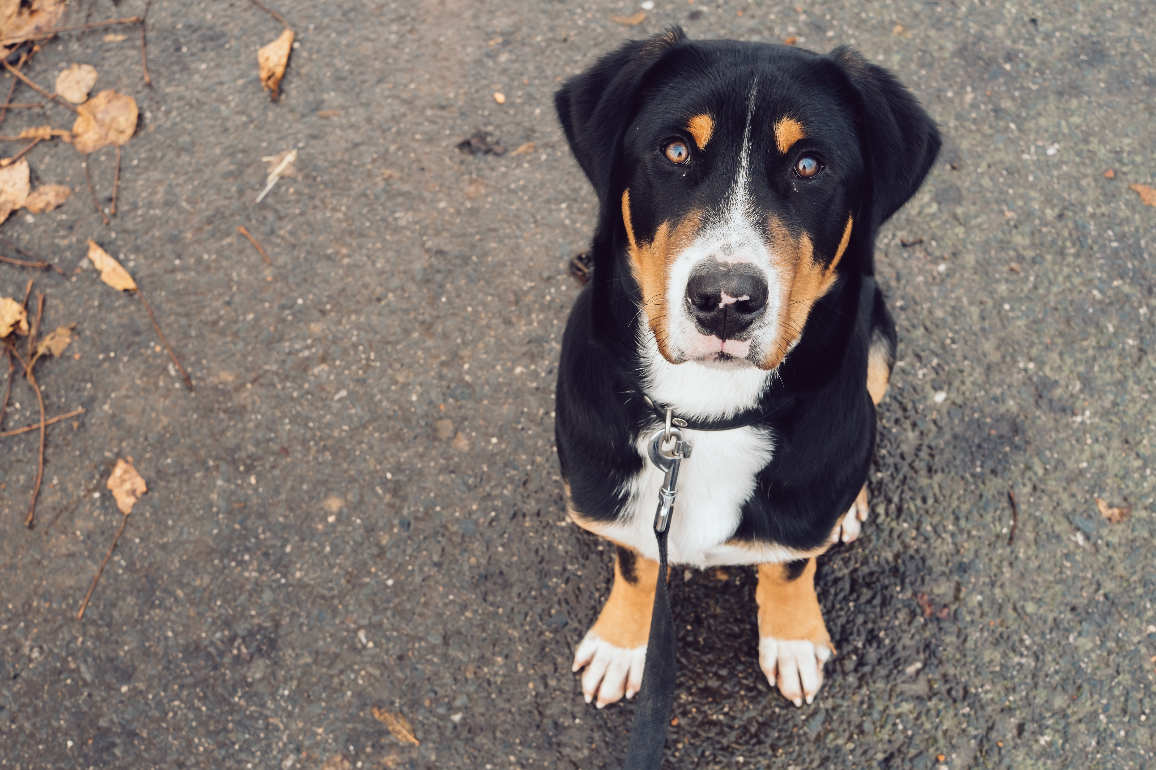 white, black, and brown dog sitting on gray soil looking up