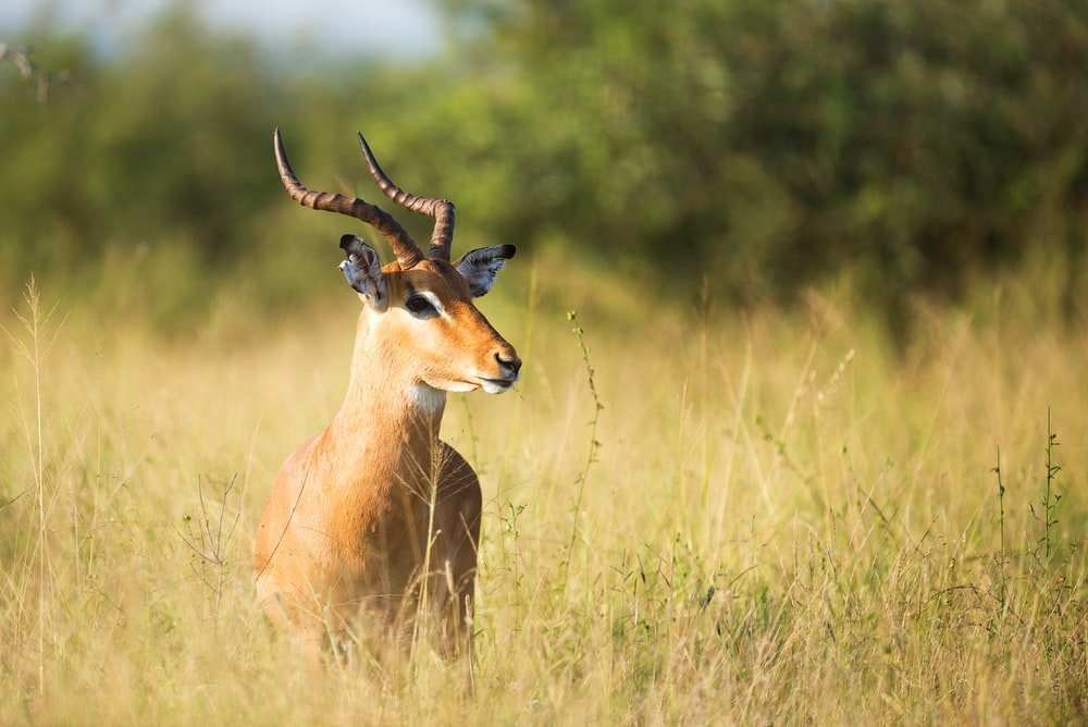 brown gazelle on grass field