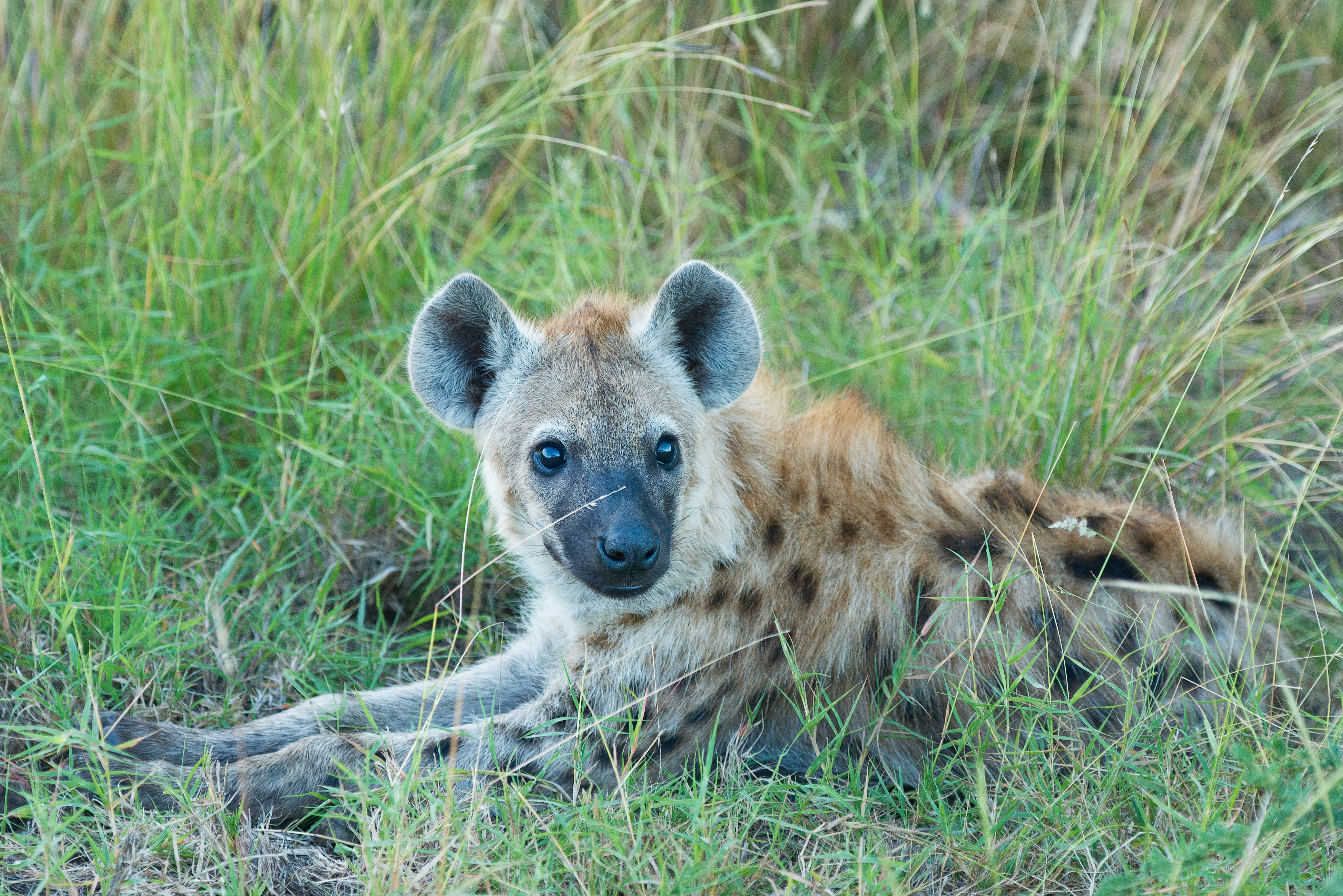 brown and black hyena lying on green grass at daytime