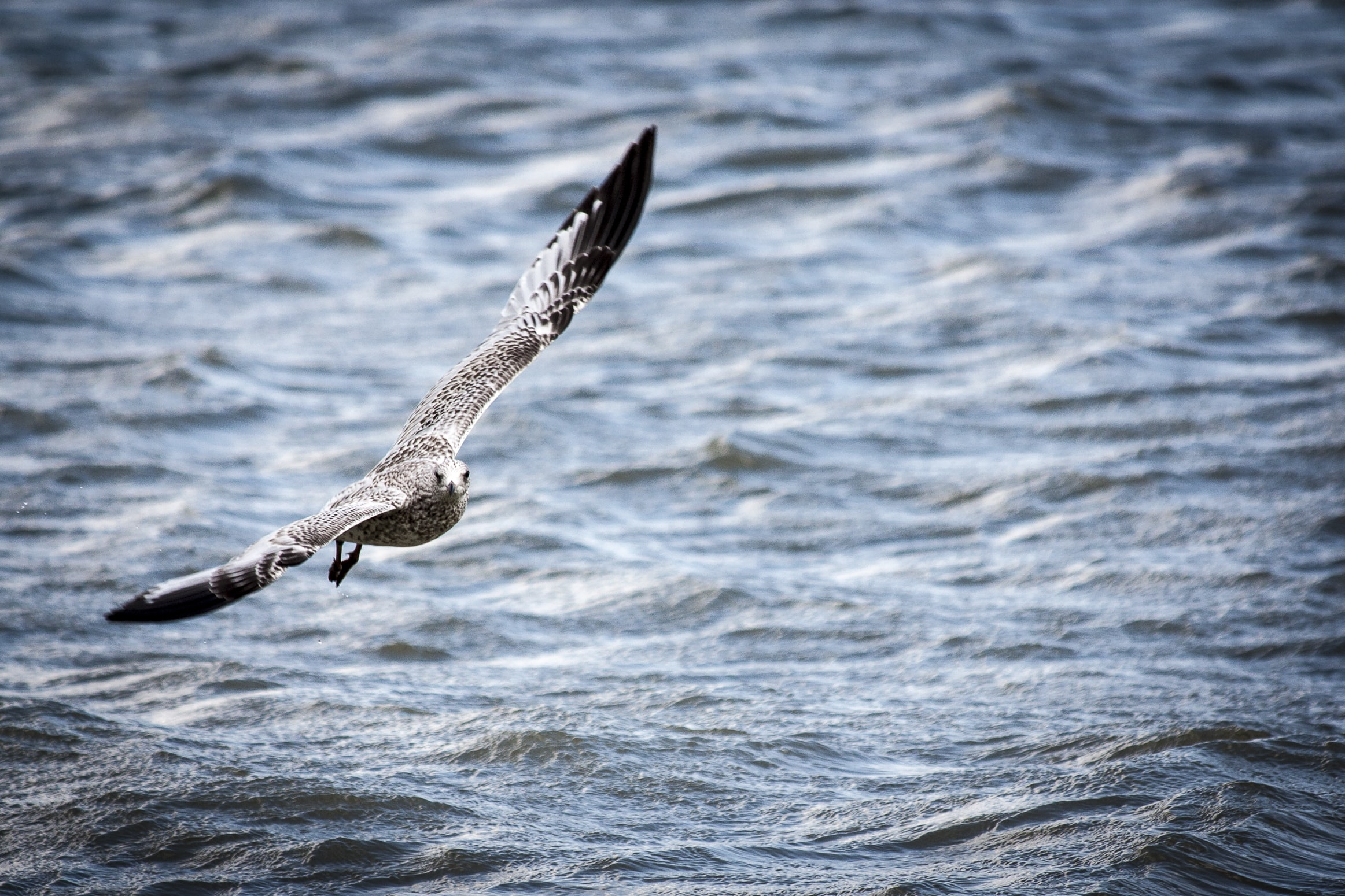gray and black bird flying over body of water during daytime