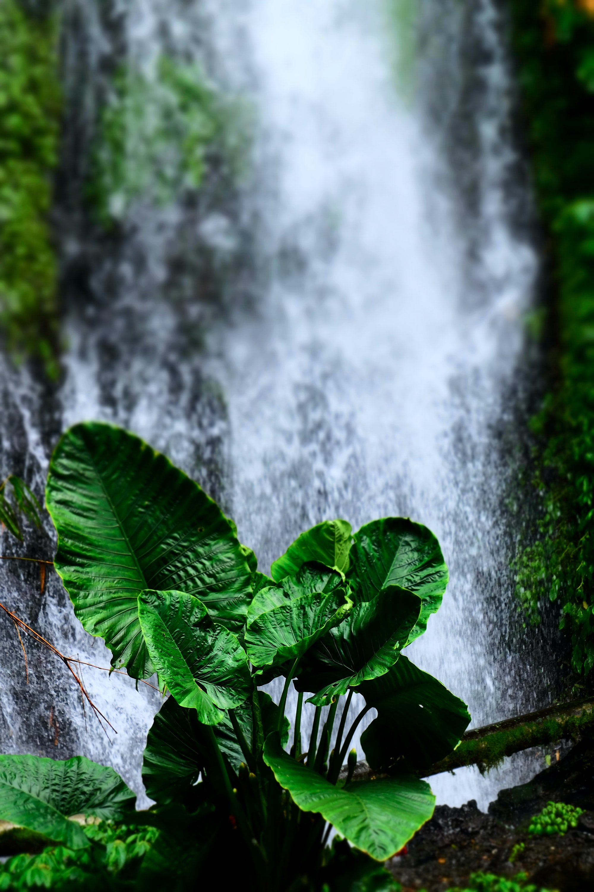 green elephant ear plant near waterfalls