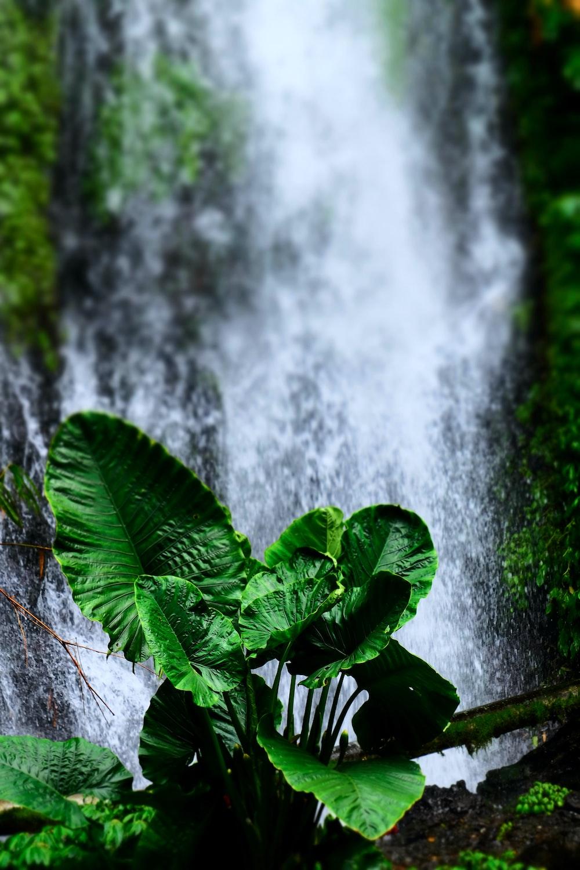 green elephant ear plant near waterfalls