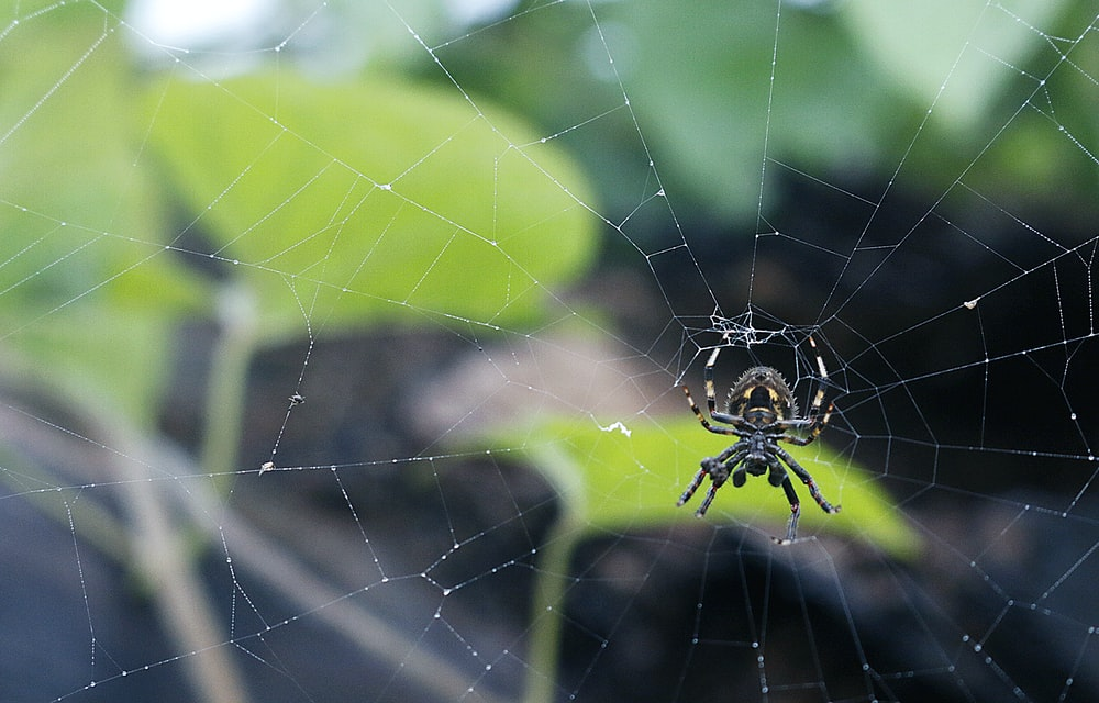 black and gray spider on web