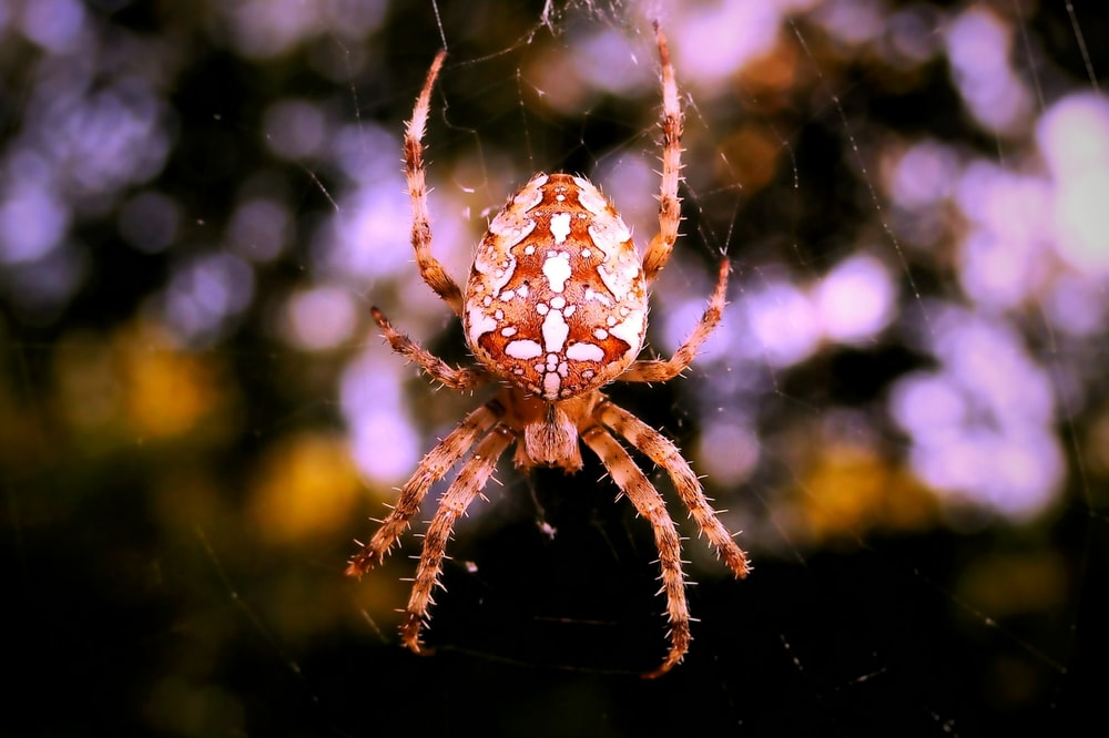 selective focus photography of brown and white araneus spider