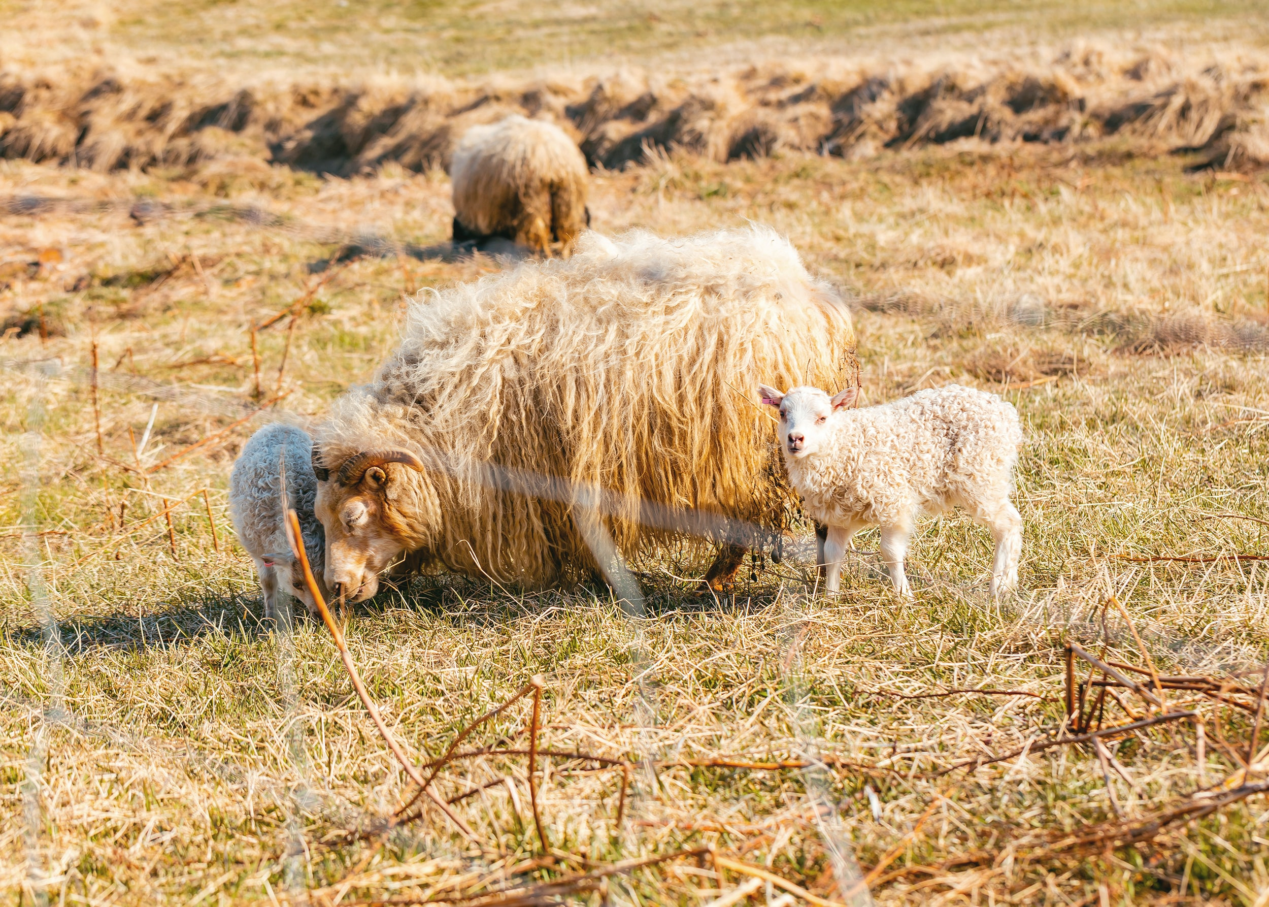 flock of sheep on grass at daytime