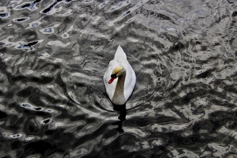 white swan swimming on body of water