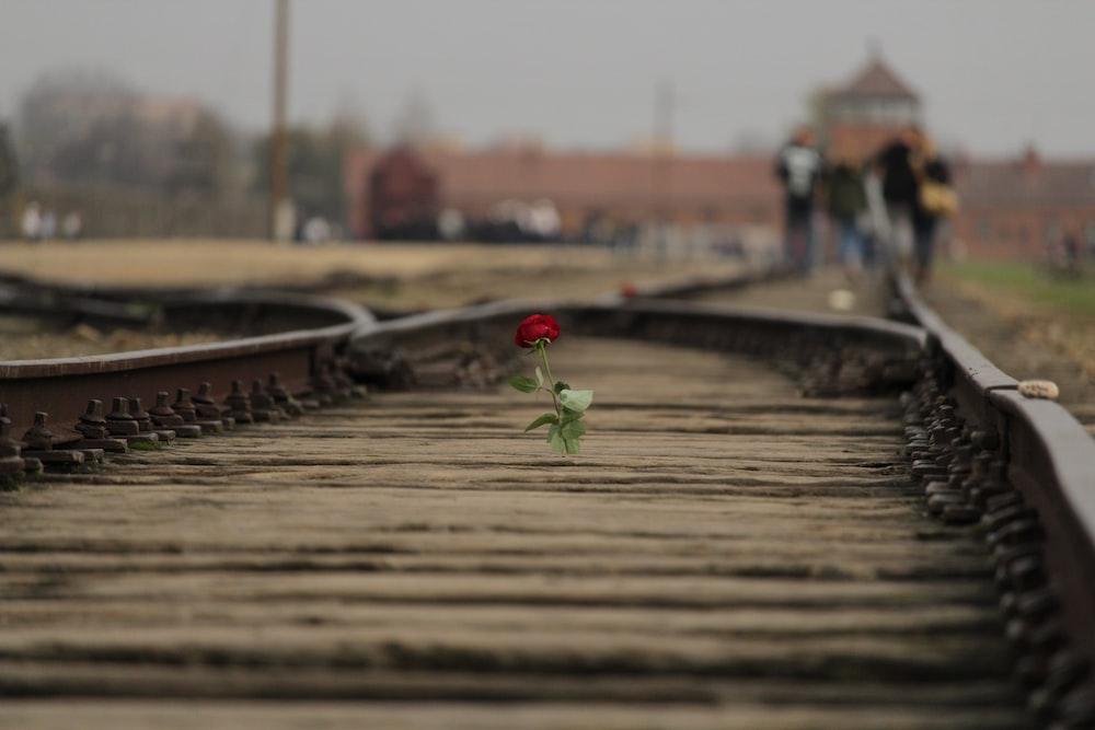 red rose flower on brown train rail