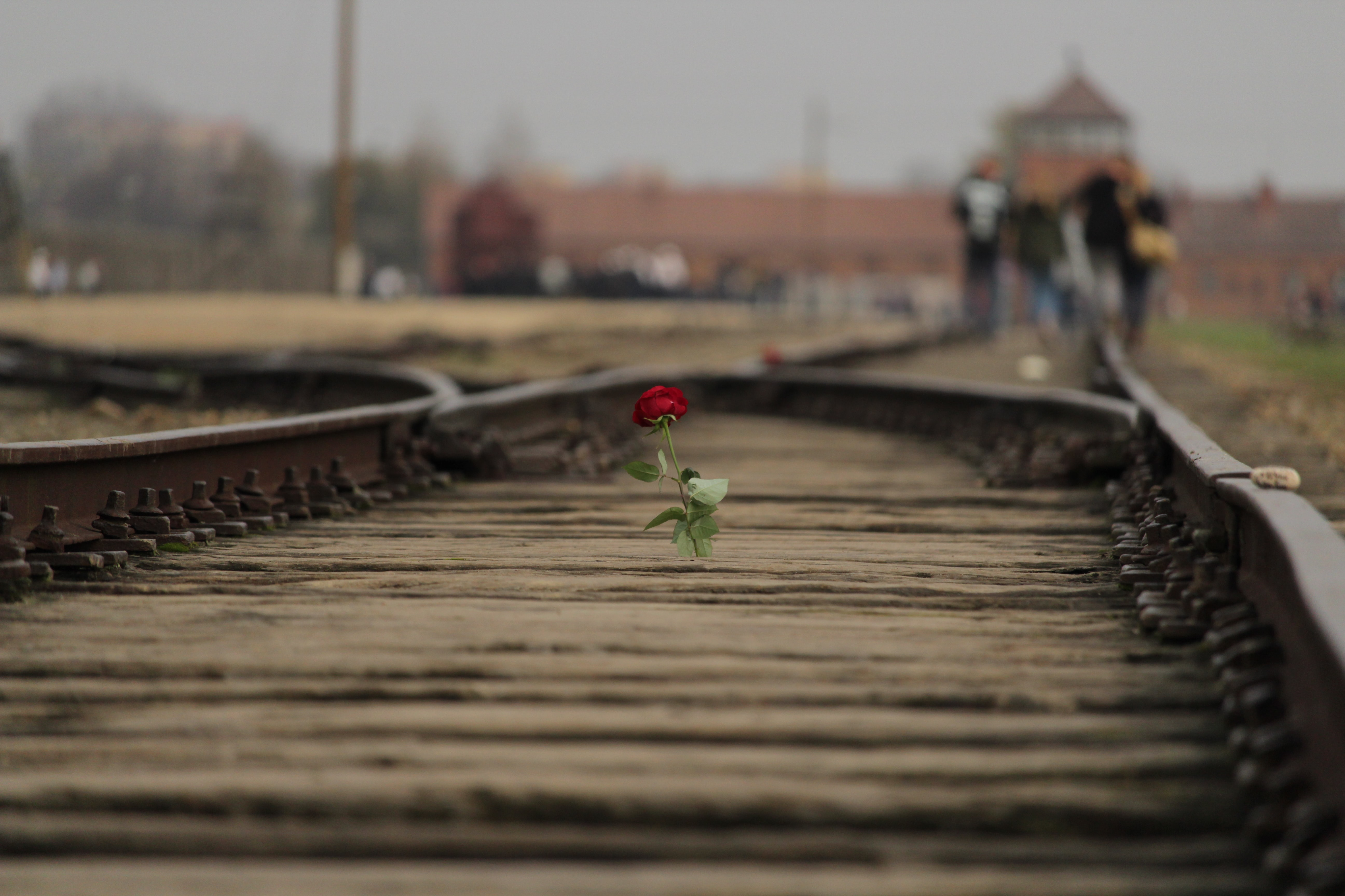 red rose flower on brown train rail