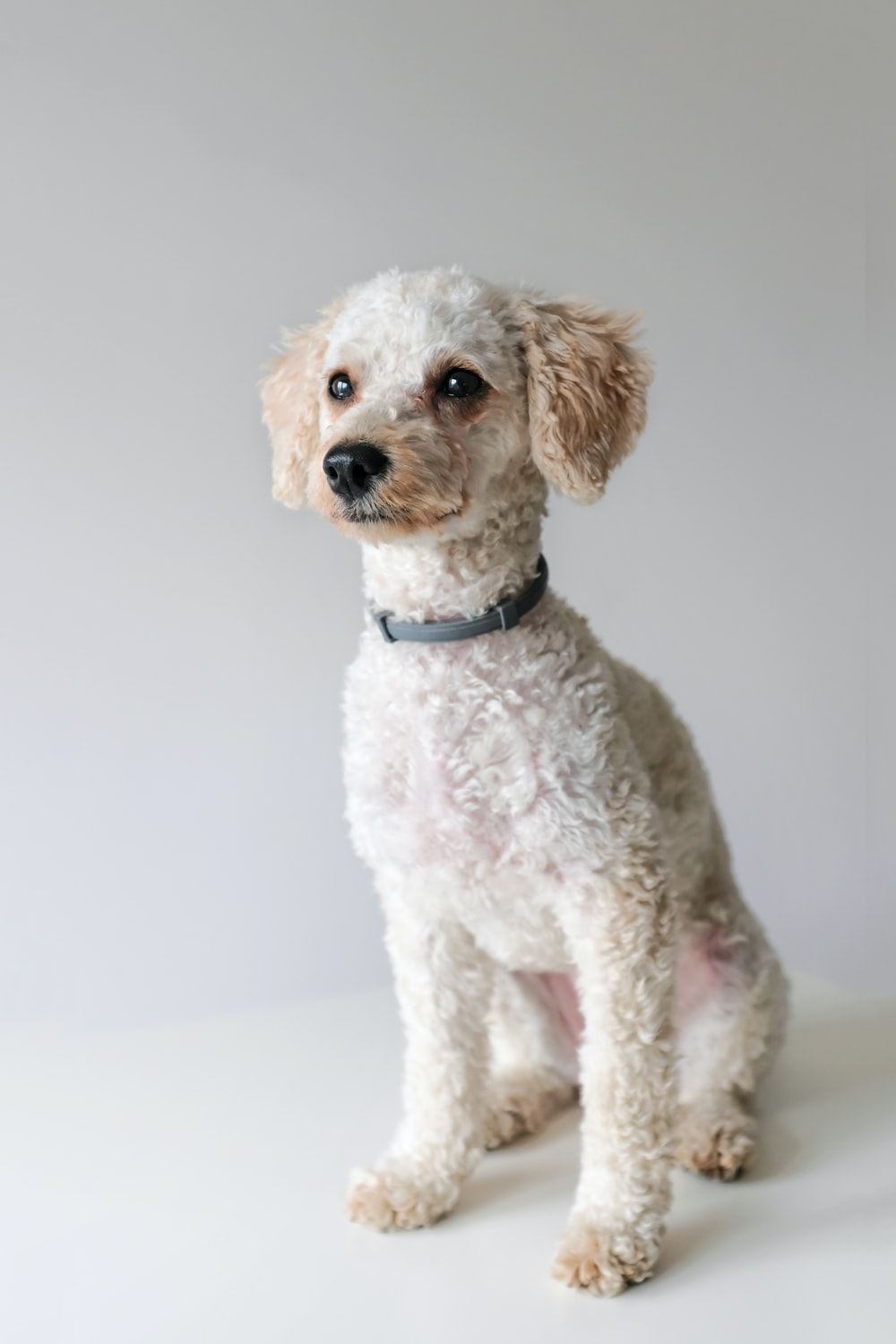 white toy poodle photography