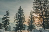 snow field with pine trees during sunset