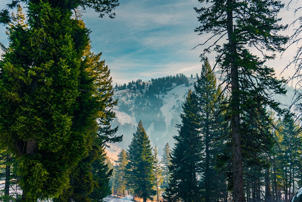 pine forest on snow-covered mountain