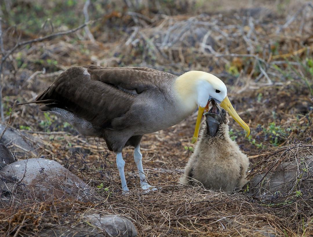 Waved Albatross feeding its chick