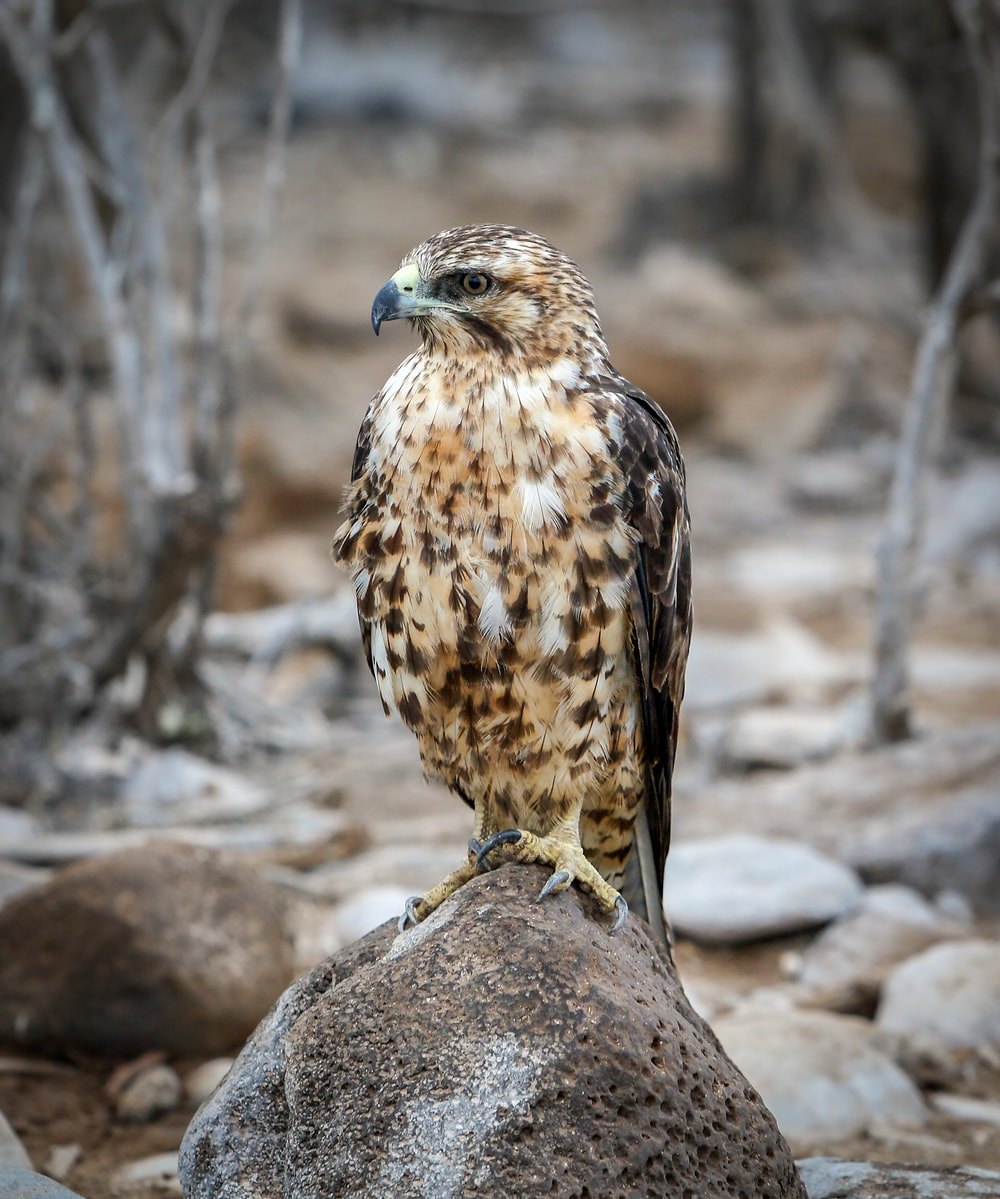 perching eagle on stone photography