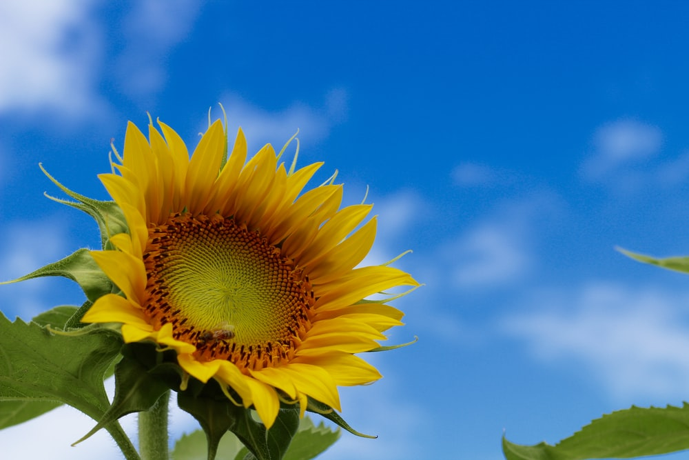 shallow depth of field photography of sunflower